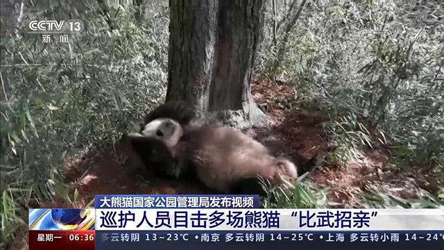 """大熊猫国家公园管理局发布视频 野生熊猫""""比武招亲"""" 打斗""""激烈"""""""