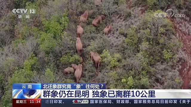 群象仍在昆明 独象已离群10公里