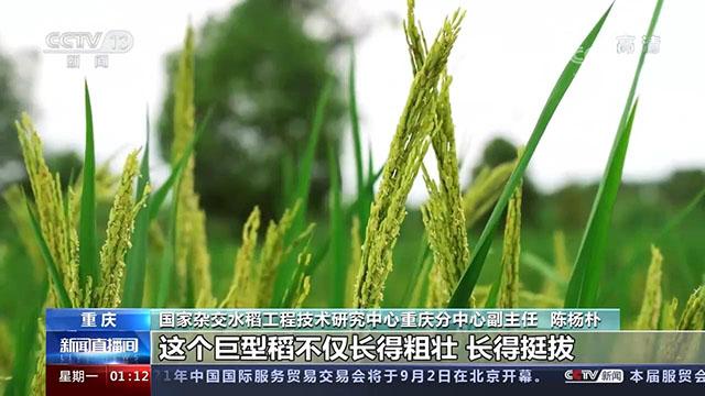重庆两米高巨型稻预估亩产超800公斤